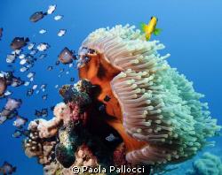 anemone by Paola Pallocci