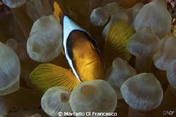 Clown Fish by Marcello Di Francesco