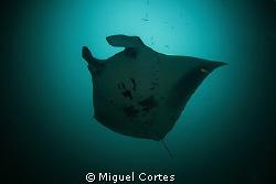 Manta. by Miguel Cortes