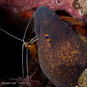 Eel and cleaner shrimp getting friendly by Graeme Cole