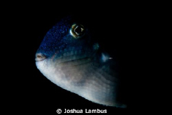 Pelagic Trigger Fish.  Taken at night in the abyss, 3 mil... by Joshua Lambus