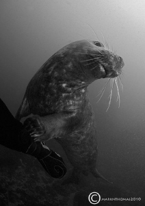 Grey seal pup. Farne Islands, Oct 2010. 15mm. by Mark Thomas