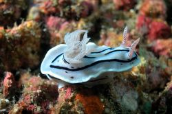 Chromodoris, Puerto Galera, the Philippines. Nikon Coolp... by Ugo Gaggeri