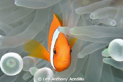 Anemone Fish by Leo Anthony Acedillo