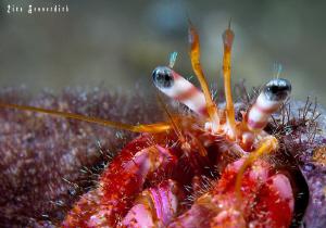 Hermid crab by Rico Besserdich