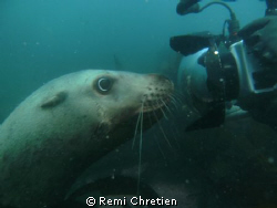 This is one of six Stellar Sea Lions that followed us aro... by Remi Chretien