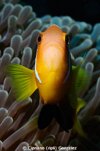 brave clownfish by Cipriano (ripli) Gonzalez