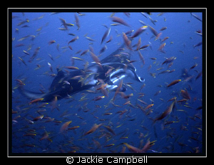 Manta thru the antheas.... Canon S90, wide angle lens, MWB by Jackie Campbell