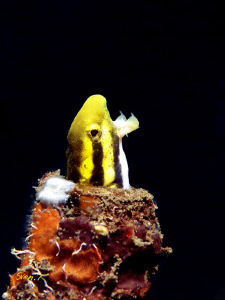 Hmmm, shorthead fang blenny, I know where the name comes ... by Sven Tramaux
