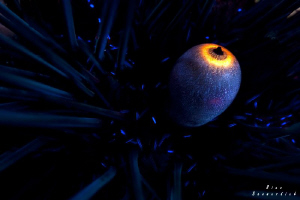 Diadem Sea-Urchin / Extreme Close-Up / 60mm makro lens wi... by Rico Besserdich