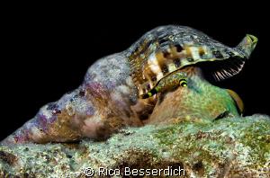 Triton Shell ( Charonia tritonis ) by Rico Besserdich
