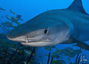 Tiger Sharks are always very curious and like to nose aro... by Steven Anderson