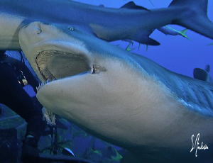 Lemon Sharks often stretch their jaws , this image was ta... by Steven Anderson
