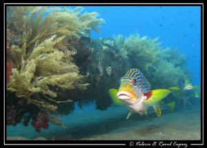 Sweetlips swimming in line along the mast of the US Liber... by Raoul Caprez