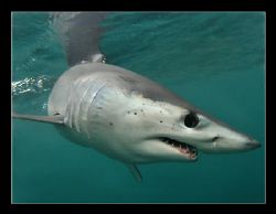 Mako shark, image shot off Cape Point. by Charles Wright