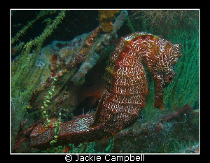 Galapagos sea horse taken with a canon ixus 700 and inter... by Jackie Campbell