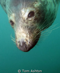a friendly seal at Eyemouth, east Scotland. canon g11, ys... by Tom Ashton