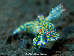 Nice nudibranch in Tulamben. Shot on low aperture, sor on... by Christian Nielsen