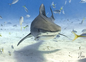 Tiger Shark hunting for the source of the slick at Tiger ... by Steven Anderson