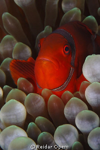 Spine-cheeked clownfish (Premnas biaculeatus) by Reidar Opem