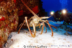 Rather Large Lobster, Cozumel by Aileen Caffrey