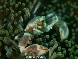 crab havin dinner by Dave Baxter