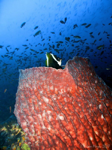 Barrel sponge at Batu Bolong, Komodo by Brian Mayes