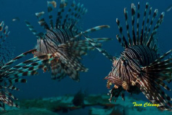 Lionfish @ Dauin, Dumaguete by Taco Cheung