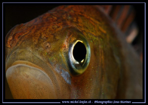 My after work dive : A very very curious Perch looking at... by Michel Lonfat