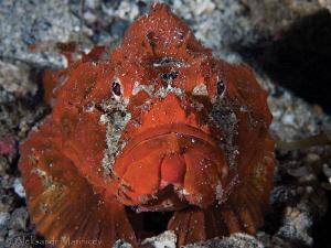 Stonefish Lembeh by Aleksandr Marinicev