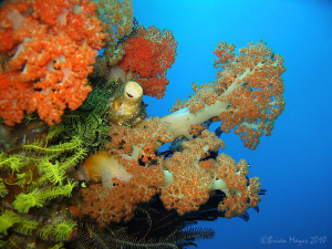"Soft corals at ""Yellow Wall"", Rinca by Brian Mayes"