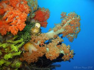 """Soft corals at """"Yellow Wall"""", Rinca by Brian Mayes"""
