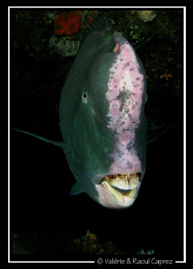 Face to face with a huge Bumphead parrot fish (Bolbometop... by Raoul Caprez