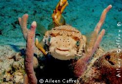 Smiley Globefish Cozumel by Aileen Caffrey