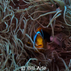 Clownfish.  Canon G-10. by Bill Arle