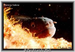 A terrible Murena helena!!! by Ferdinando Meli