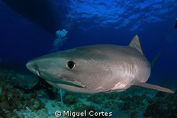 Tiger shark very close. by Miguel Cortes
