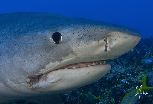 The Tiger Sharks keep their distance until they recognize... by Steven Anderson