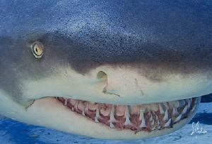 Lemon Sharks swim freely and often like to show their smi... by Steven Anderson