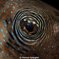 Bullseye!!! Pufferfish eye, night dive, Komodo, Indonesia. by Michael Gallagher