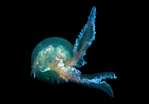"""""""Ballerina""""  Like a ballerina this Jelly dances through... by Henry Jager"""