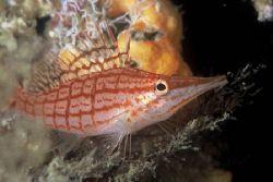 """""""Longnose Hawkfish"""" Taken on housereef in Guinjata Bay, ... by Brian Welman"""