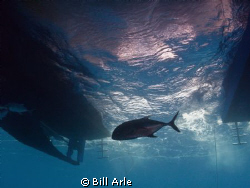 Trevally under the dive boat. by Bill Arle