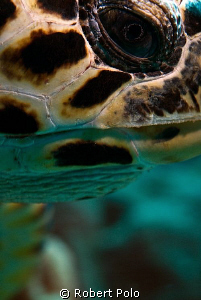 Turtle up close. by Robert Polo