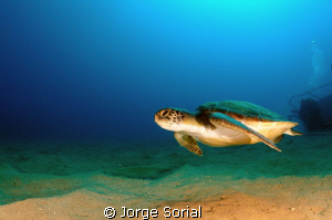 Green turtle in Las Galletas, Tenerife, Canary Islands by Jorge Sorial