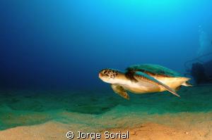 Green turtle in Las Galletas, Tenerife, Canary Islands by Jorge Sorial