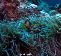Osprey Reef, Coral Sea.   Canon G-10. by Bill Arle