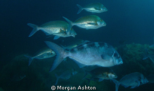 Snapper at Tye Dye Arch, Poor Knights Islands by Morgan Ashton