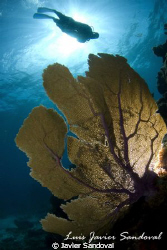 Sea fan with slave strove on the back and diver by Javier Sandoval