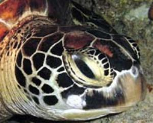 Green Turtle taken in cave off Saipan w/digital still by Martin Dalsaso